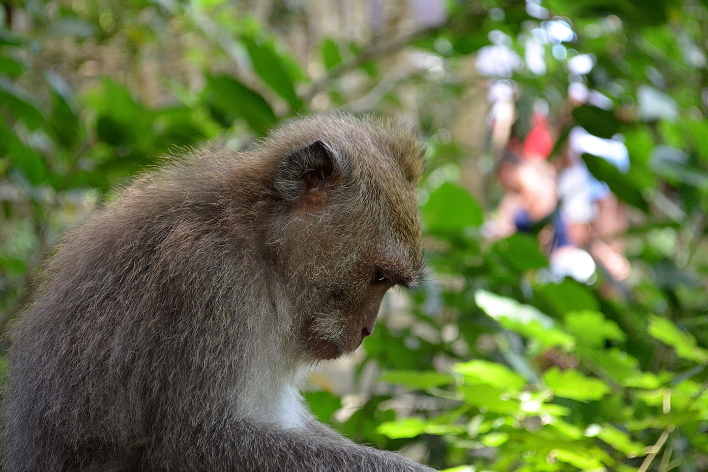 Monkey forest Ubud, Bali - Indonésie